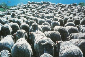 troupeau moutons merinos