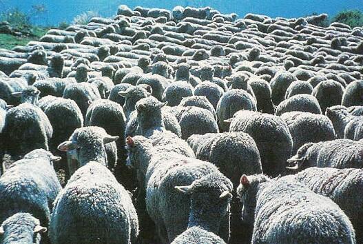 troupeau-moutons-merinos
